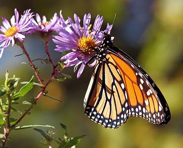 Ein tierfreundlicher Garten Schmetterling